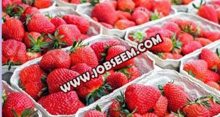 Strawberry Processing Staffs Wanted in NEW ZEALAND 2018